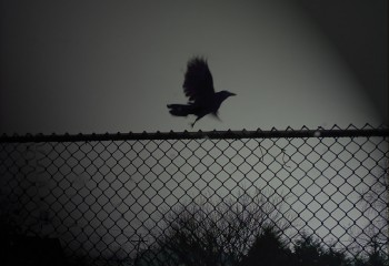 Raven-On-The-Fence-131373